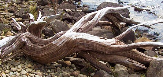 an old driftwood stump